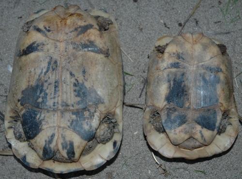 Tartoombria il sito di riferimento per tutti i for Tartaruga di terra maschio o femmina