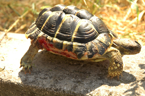 Tartitaly il blog fotografico di tartoombria blog for Tartarughe in amore
