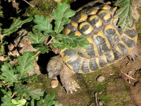 gonfaron-sauvez-tortue-hermann[1]